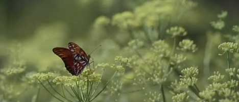Butterfly in Johnnie Walker TV ad