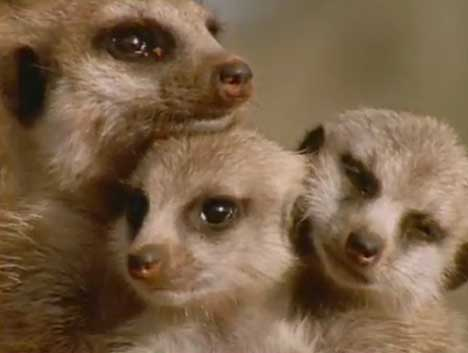 Meerkats in Telecom TV ad