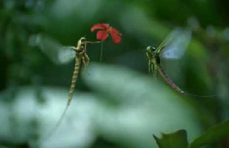Mayfly gives flowers in Vodafone TV ad