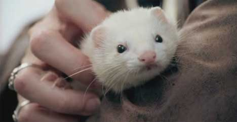 White ferret in Losing Lincoln TV ad