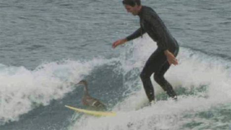 Duck surfer