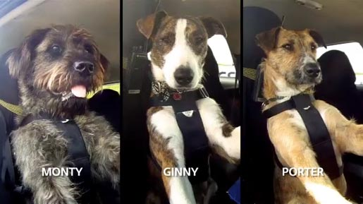 SPCA Driving Dogs Monty Porter and Ginny