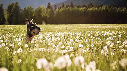 Audi Doberhuahua in field