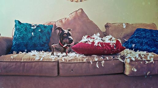 Audi Doberhuahua with sofa