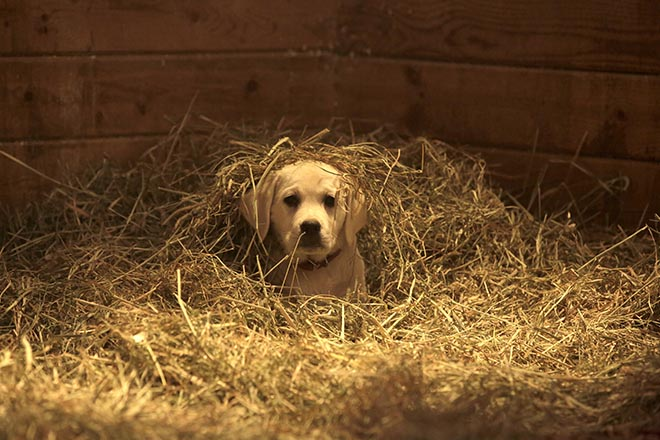 Budweiser Lost Dog in Straw