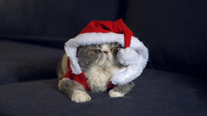 Cat in a Christmas cat in Temptations commercial