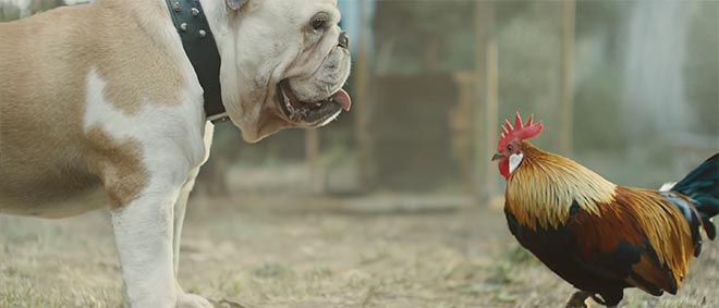 Bulldog and coq in Beats by Dre commercial