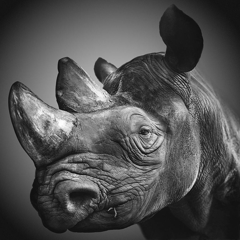 NOAH Fine Art of Exterminating Rhinos - The Inspiration Room