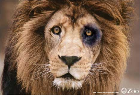 Lion with black eye at Buenos Aires Zoo