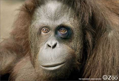 Orangutan with black eye at Buenos Aires Zoo
