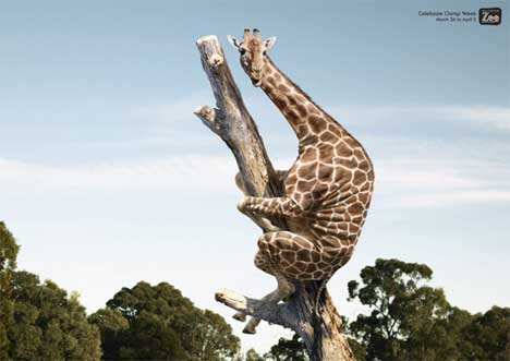 Giraffe poses in Wellington Zoo Chimp Week print ad