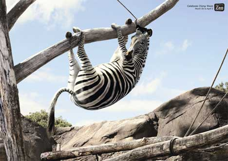 Zebra poses in Wellington Zoo Chimp Week print ad