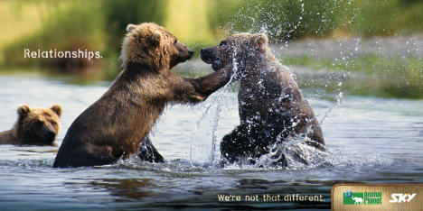 Bears fighting on Sky print advertisement