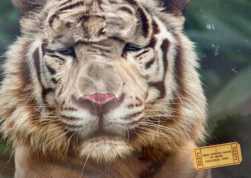 Nehru Zoological Park - Tiger