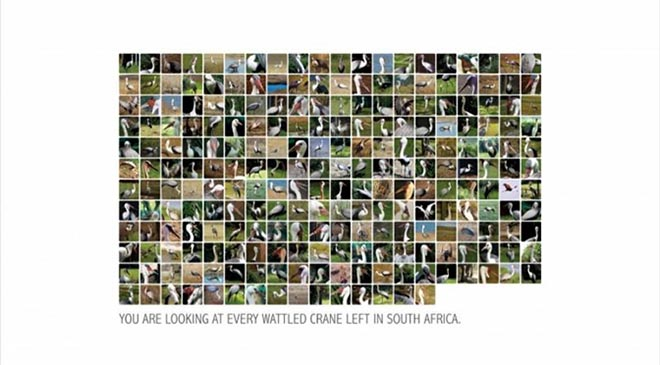 Every Wattled Crane in South Africa