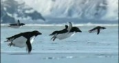 Flying Penguins from BBC