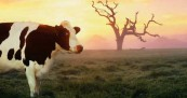 Happy Cows in TV Commercials