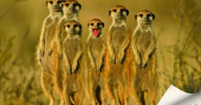 Meerkats in New Home of Football